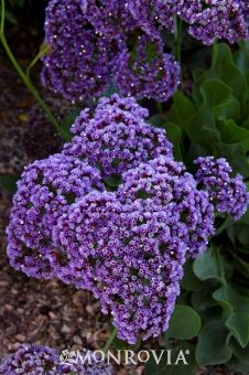 Monrovia's Sea Lavender details and information. Learn more about Monrovia plants and best practices for best possible plant performance.
