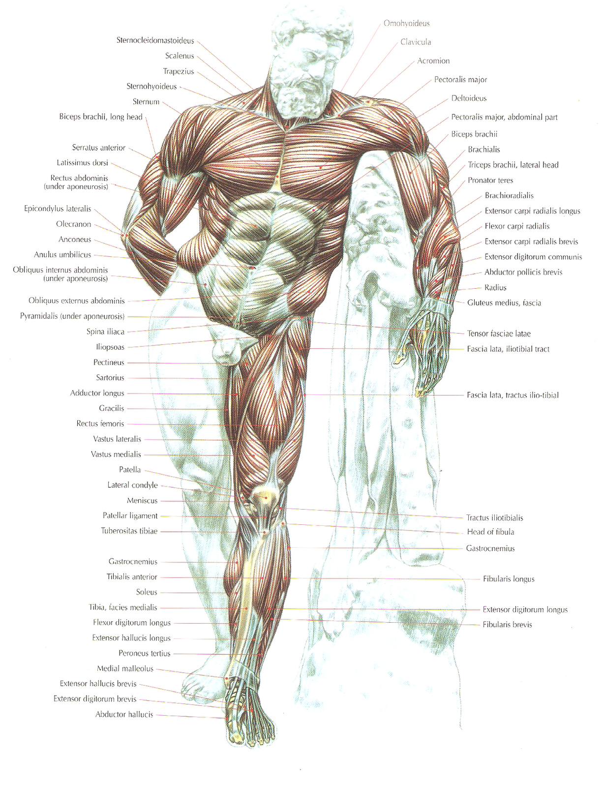humanfrontview.png (1226×1600)   Anatomy   Pinterest   Anatomy and ...