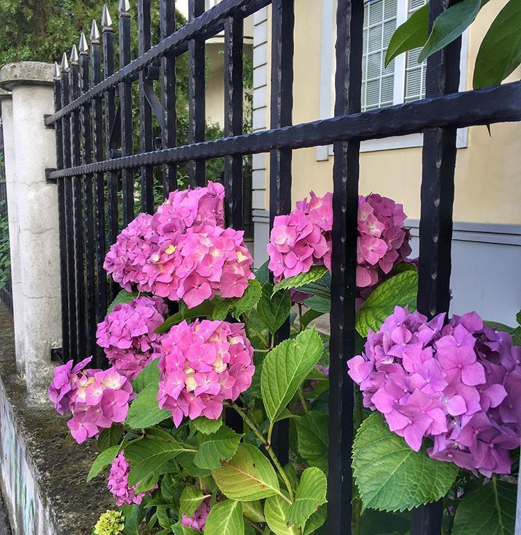 There are always flowers for those who want to see them. (Henri Matisse) #henrimatisse #hydrangea #f...