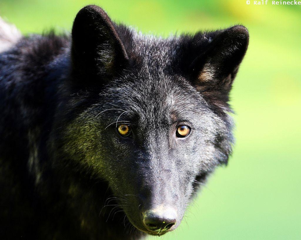 Black Eastern Wolf Parc Animalier De Sainte Croix October 2014 05 Wolf Dog Black Wolf Wolf