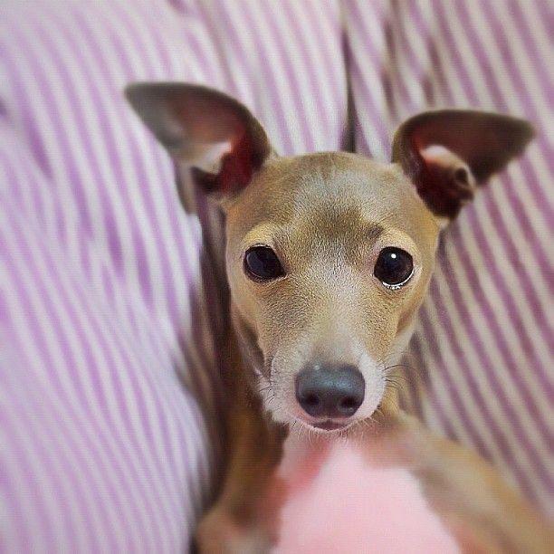 Tina Italian Greyhounds Cute Dogs Grey Hound Dog Cute Animals