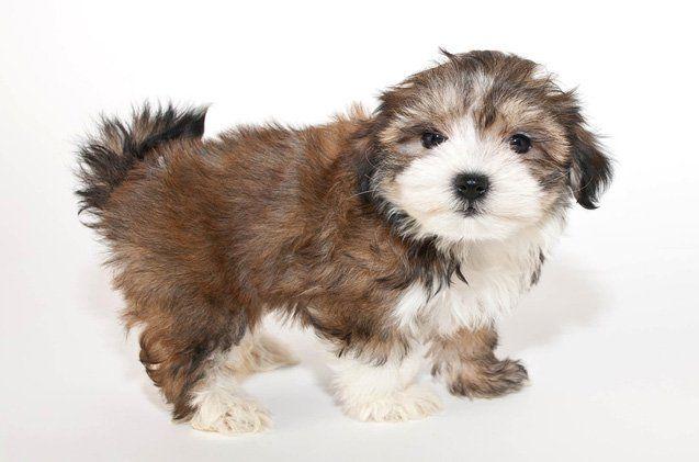 cutest-dog-breeds-morkie