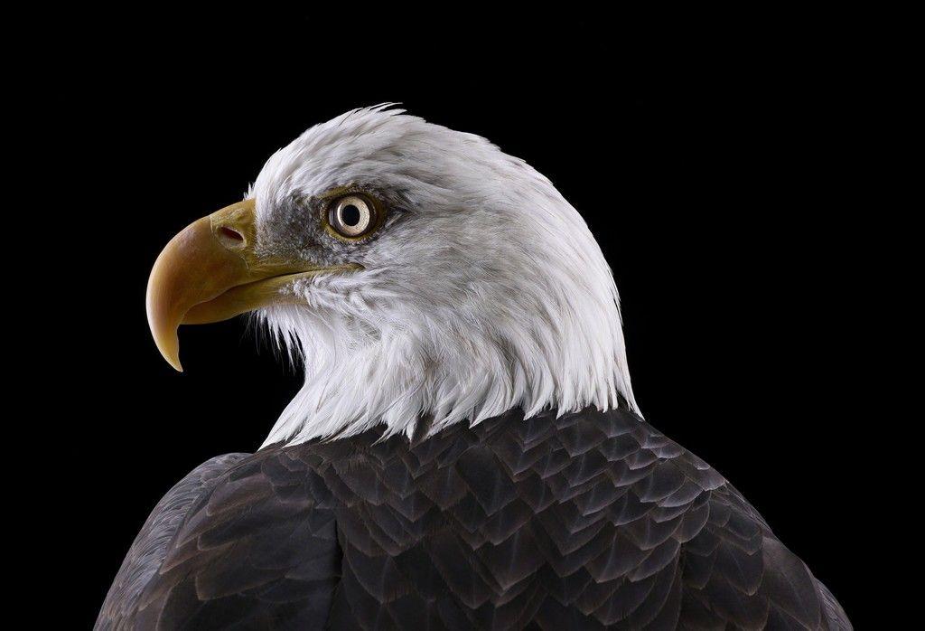 Incredible Studio Portraits Of Wild Animals By Brad Wilson: Bald Eagle #1, Espanola, NM (2011