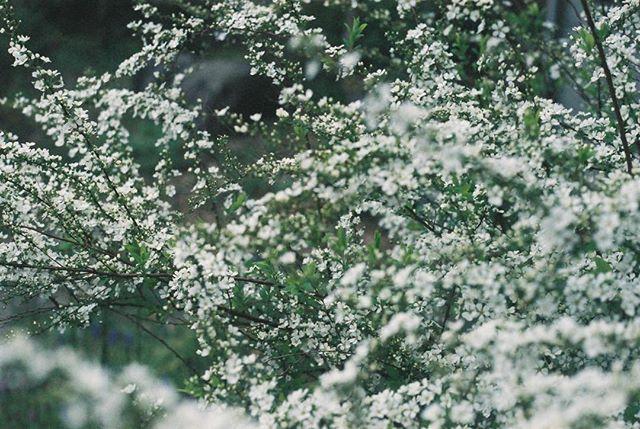 あなたを思う時はいつも 雪の妖精を連れてきて この世界を優しく澄み渡らせる  #フィルムに恋してる #indies_gram #reco_ig #phos_japan #フィルム写真普及委員会 #生活とフィルム #pics_jp #film_jp #thefilmcommunity #フィルム部 #フィルム写真撮ってる人と繋がりたい #ふぃるむ寫眞 #フィルムの灯を絶やさない #フィルム写真部 #indy_photolife #as_archive #Closeup_archive #hueart_life #photooftheday #igersjp #期限切れフィルム #キリトリセカイ #tokyocameraclub #ファインダー越しの私の世界 #日々フィルム #filter365life #film_com #フィルムカメラに恋してる #オールドレンズ #単焦点
