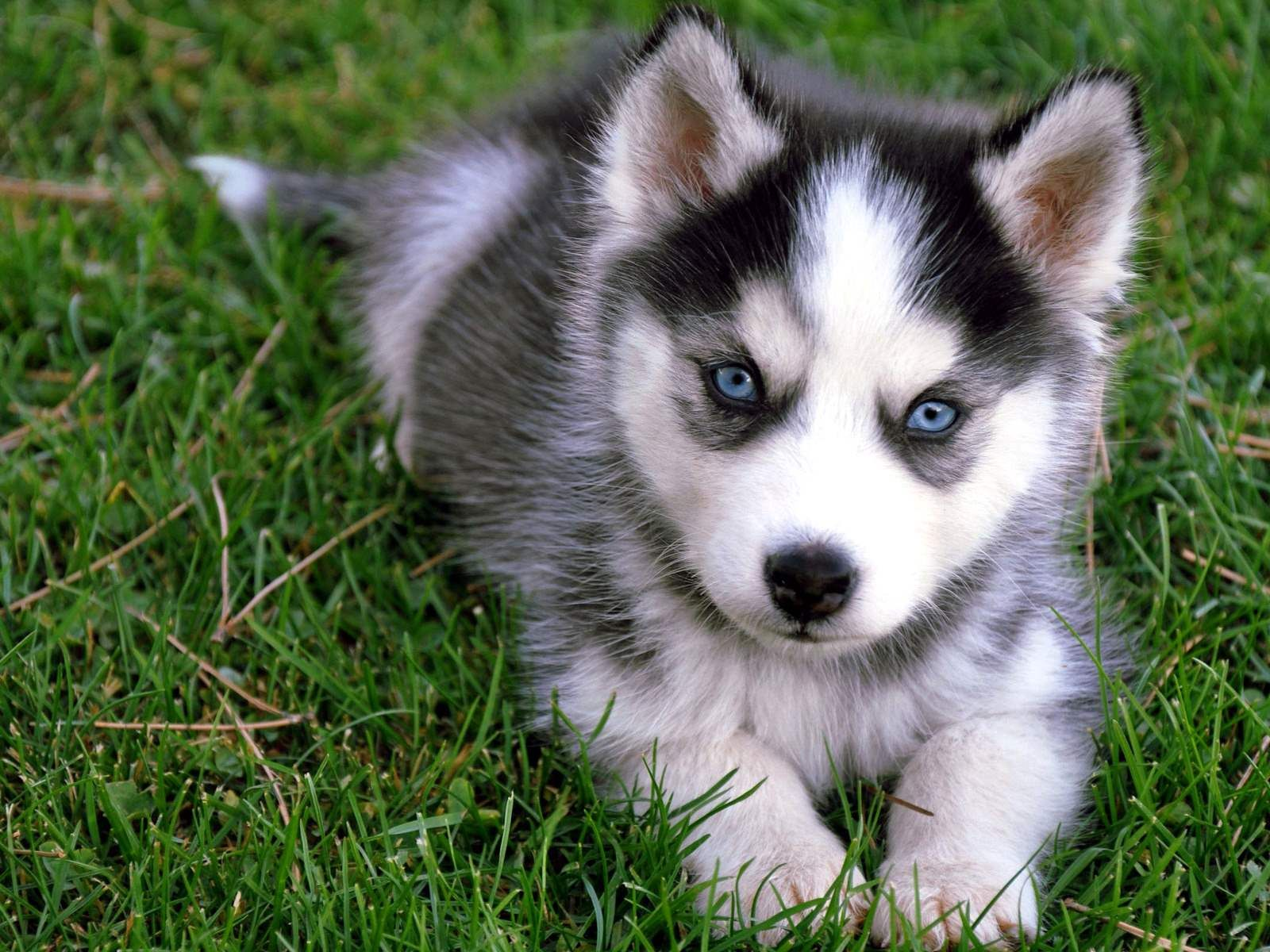 Cute Husky Puppies Cute Siberian Husky Puppy Sitting On Grass