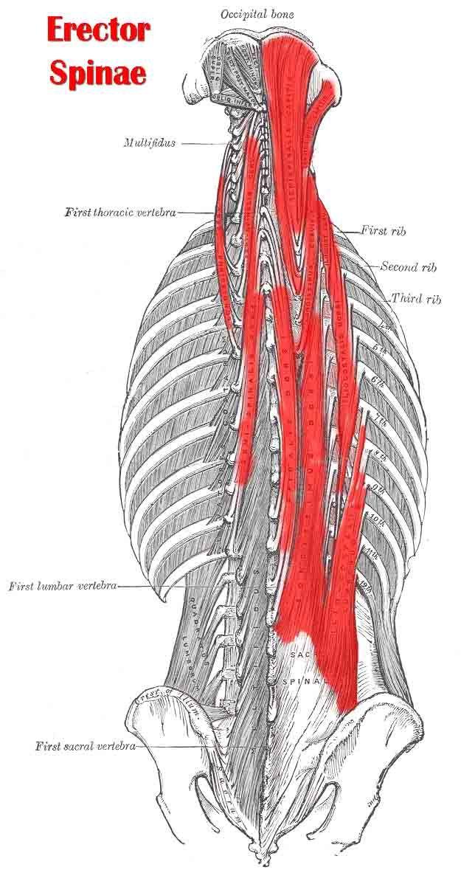 Erector Spinae Muscle Bodywork Brandiwyne Bodyworks Pinterest