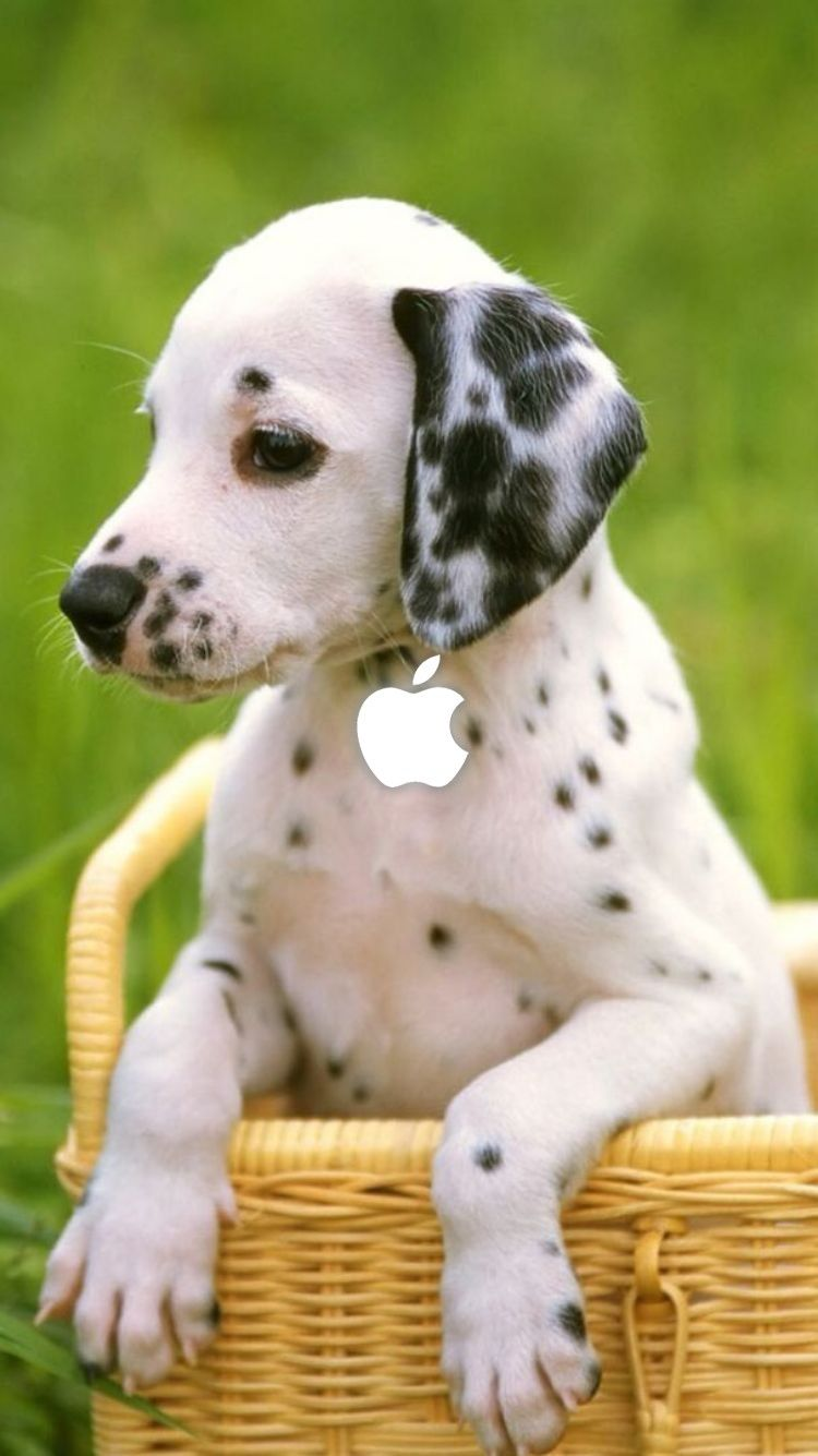 Animal Iphone Wallpapers Animals Cute Animals Dalmatian Dogs
