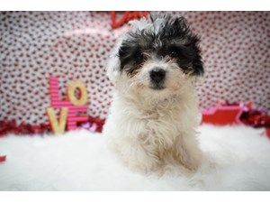 Available Puppies - Petland Racine | Adopted Pets | Dogs