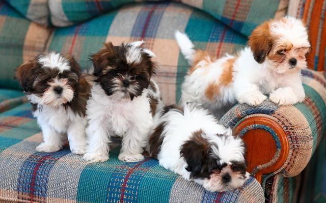 Shih Tzu Affectionate And Playful Shih Tzu Puppy Cute Baby
