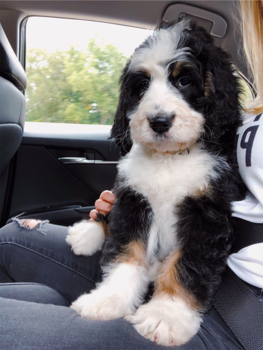 VSCO caitymiller Cute baby animals, Bernedoodle puppy