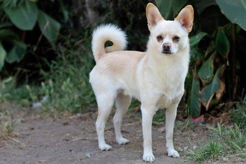Shiba Inu Chihuahua Mix So Gorgeous Chihuahua Dogs Chihuahua