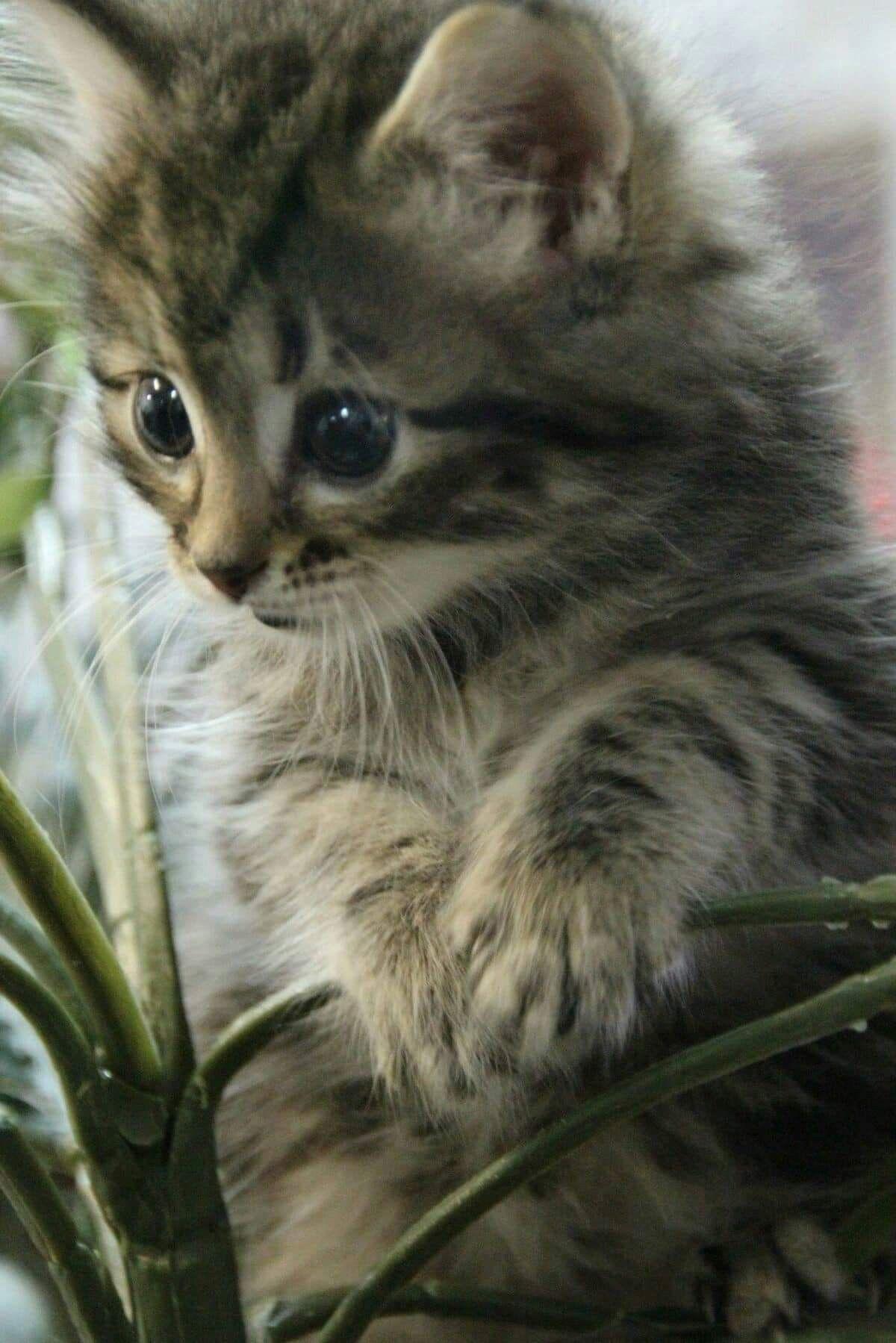 Cute gray tabby kitten kitten kittens cute cats