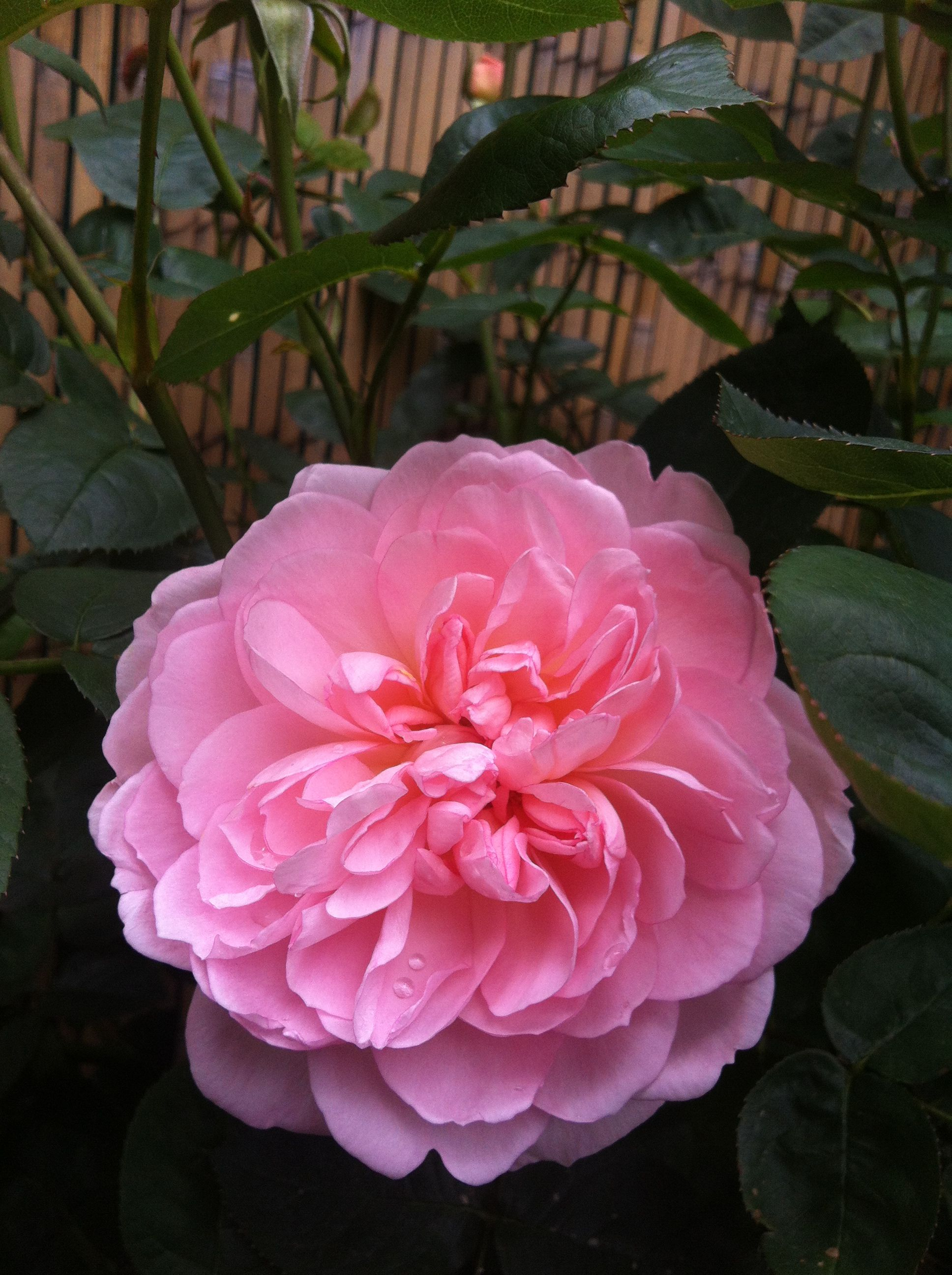 Old English Rose Gentle Hermione Sprinkle Your Garden With