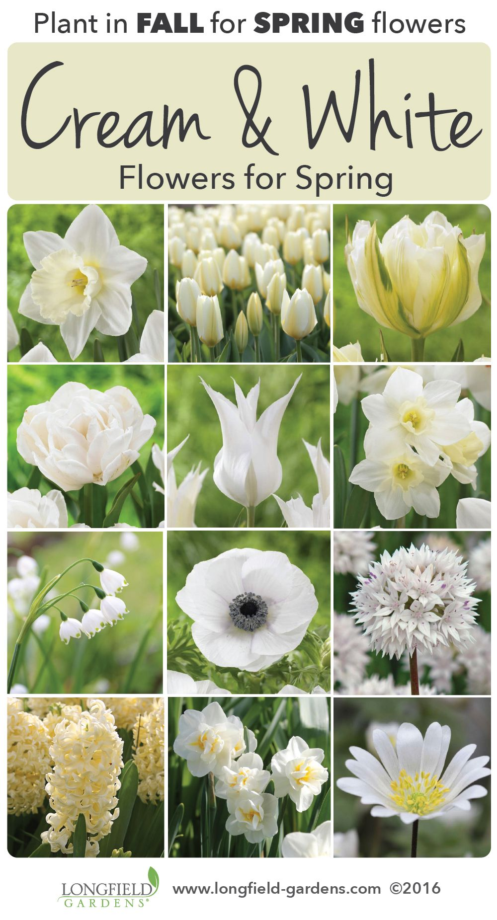 White Flowers Dazzle Not With Their Colorbut With Their Simplicity
