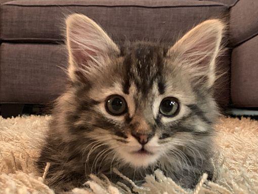 Denver, CO Domestic Shorthair. Meet Nora a Pet for