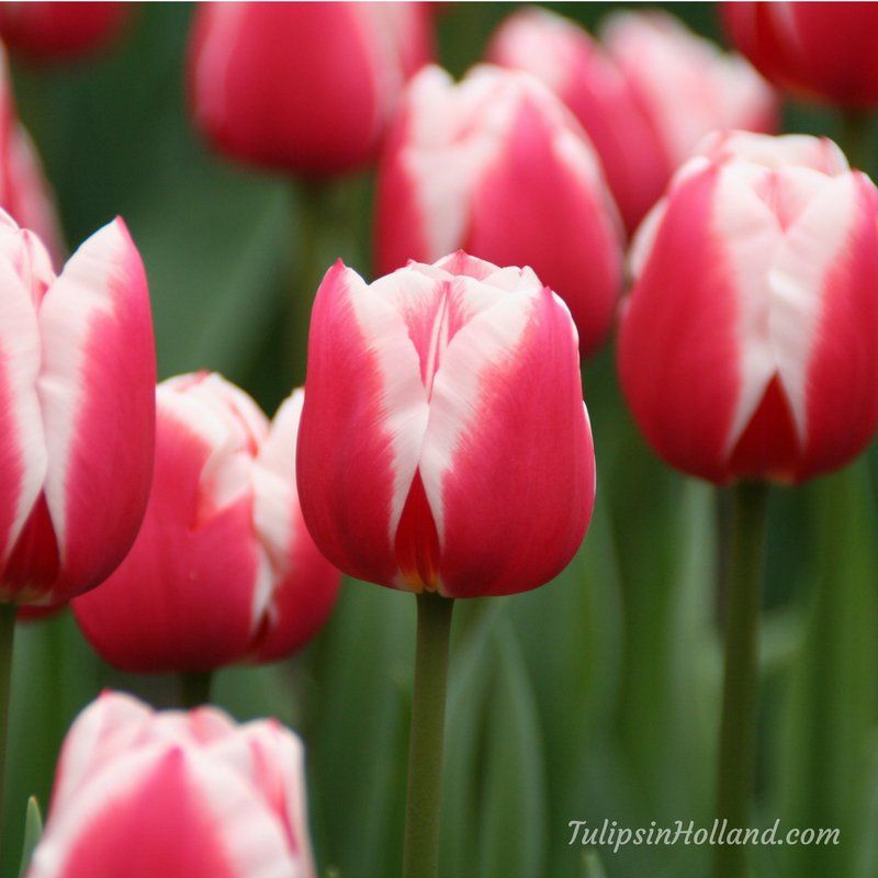Tulips In Holland Tulips Holland Twitter Tulips Holland Holland Flowers Tulips