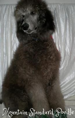 Silver standard poodle puppy | Old Blue, now Hidalgo, a