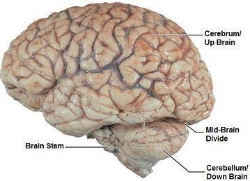 Toward a New Split-Brain Model: Up Brain-Down Brain | Psychology Today