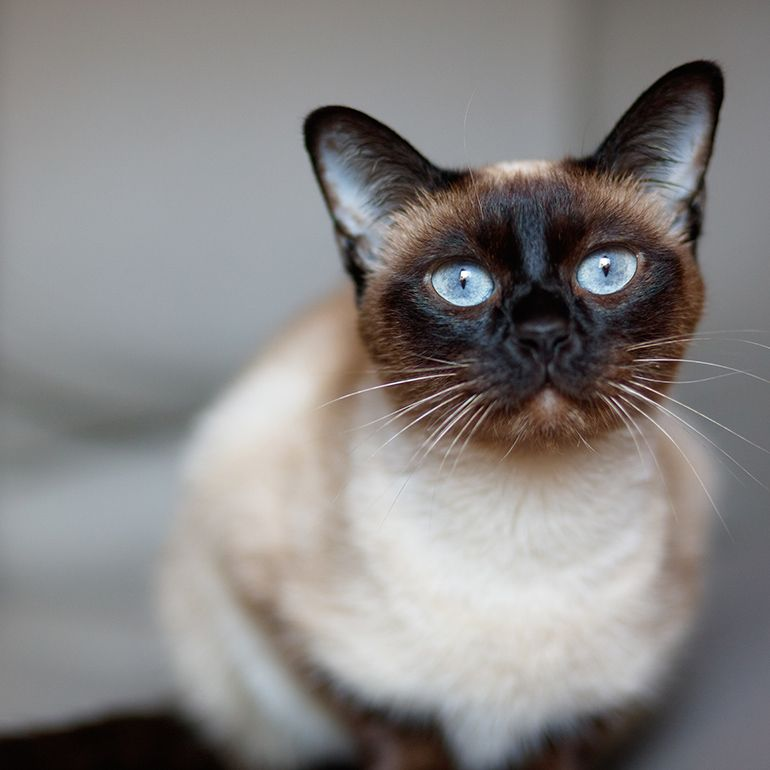 10 Cats That Don T Shed To Save Your Couch And Possibly Your Sinuses In 2020 Cat Breeds Hypoallergenic Cats Pet Allergies