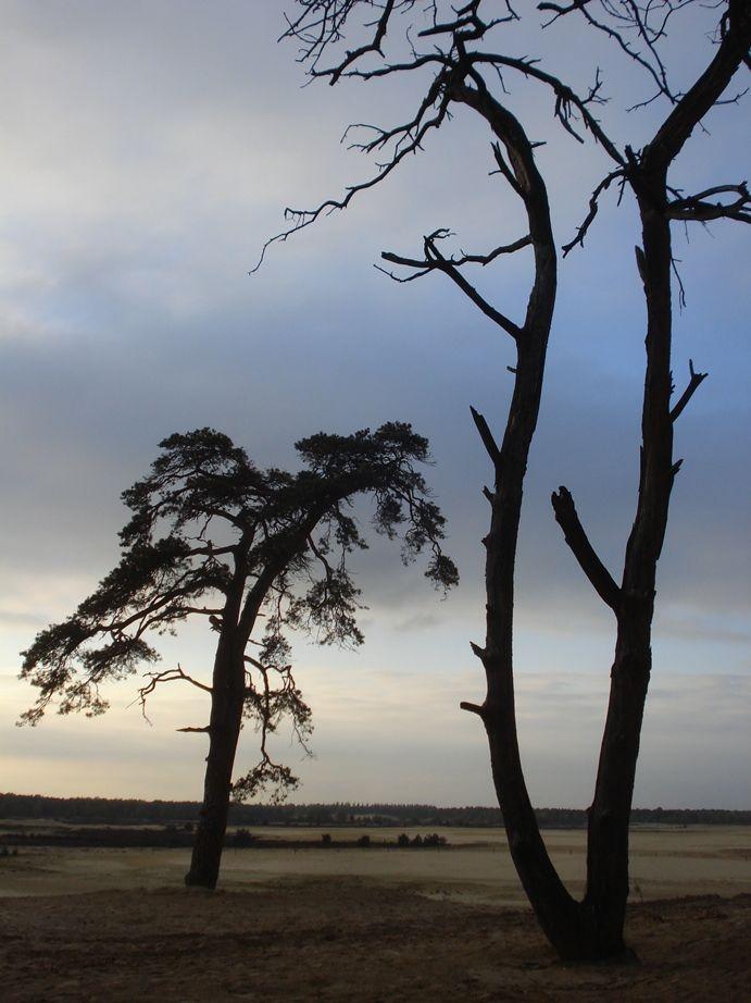 "Silhouette of a living and dead pine.  National park ""Loonse en Drunense duinen"" Holland."