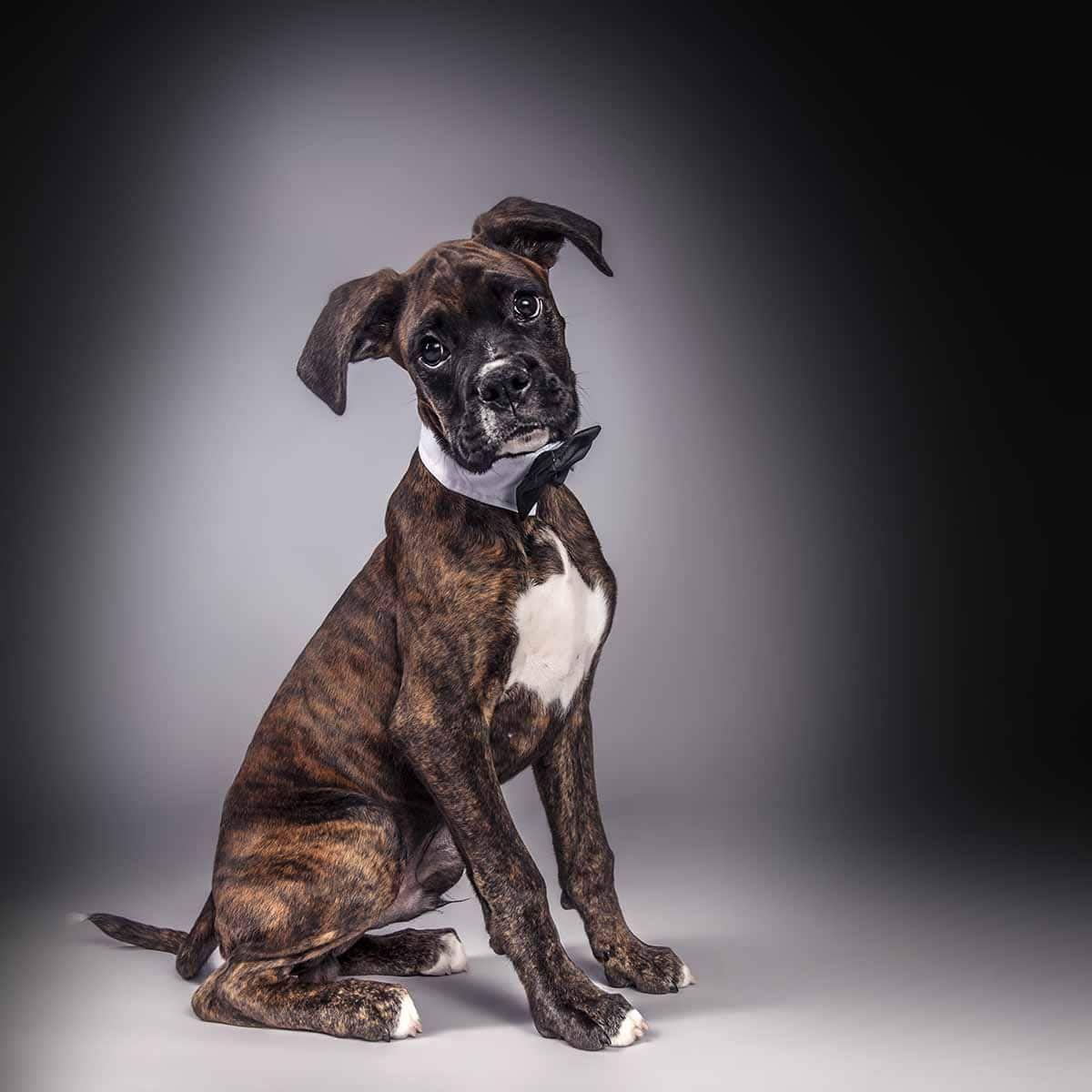 boxer dog in bow tie handsome smart studio portrait Dog