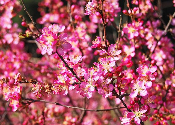 Items Similar To Pink Flowering Tree Japanese Pear Blossom Tree Fine Art Photography Wall Art Home Decor 8 Pink Flowering Trees Flowering Trees Blossom Trees