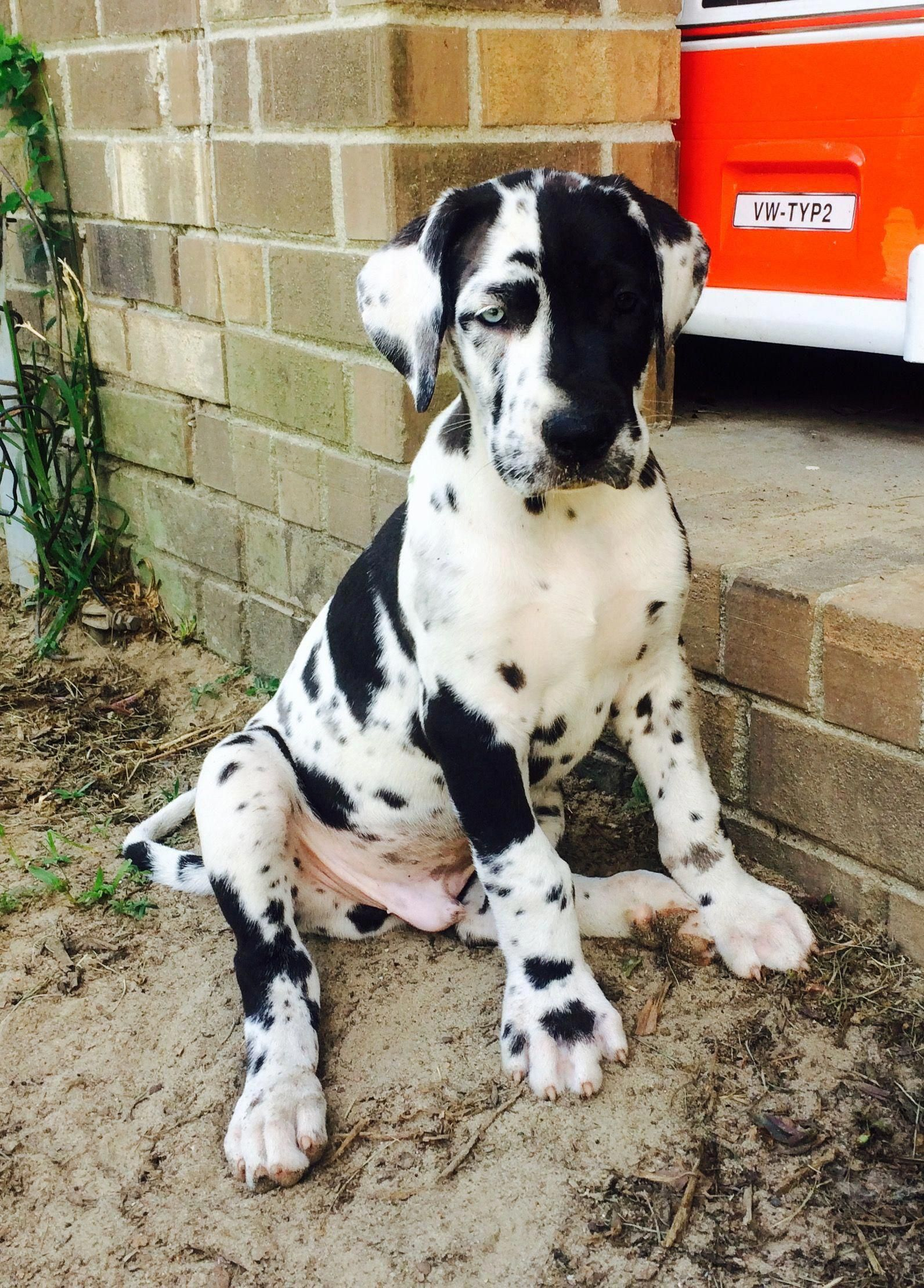 Great Dane Patient And Friendly Dane Puppies Harlequin Great