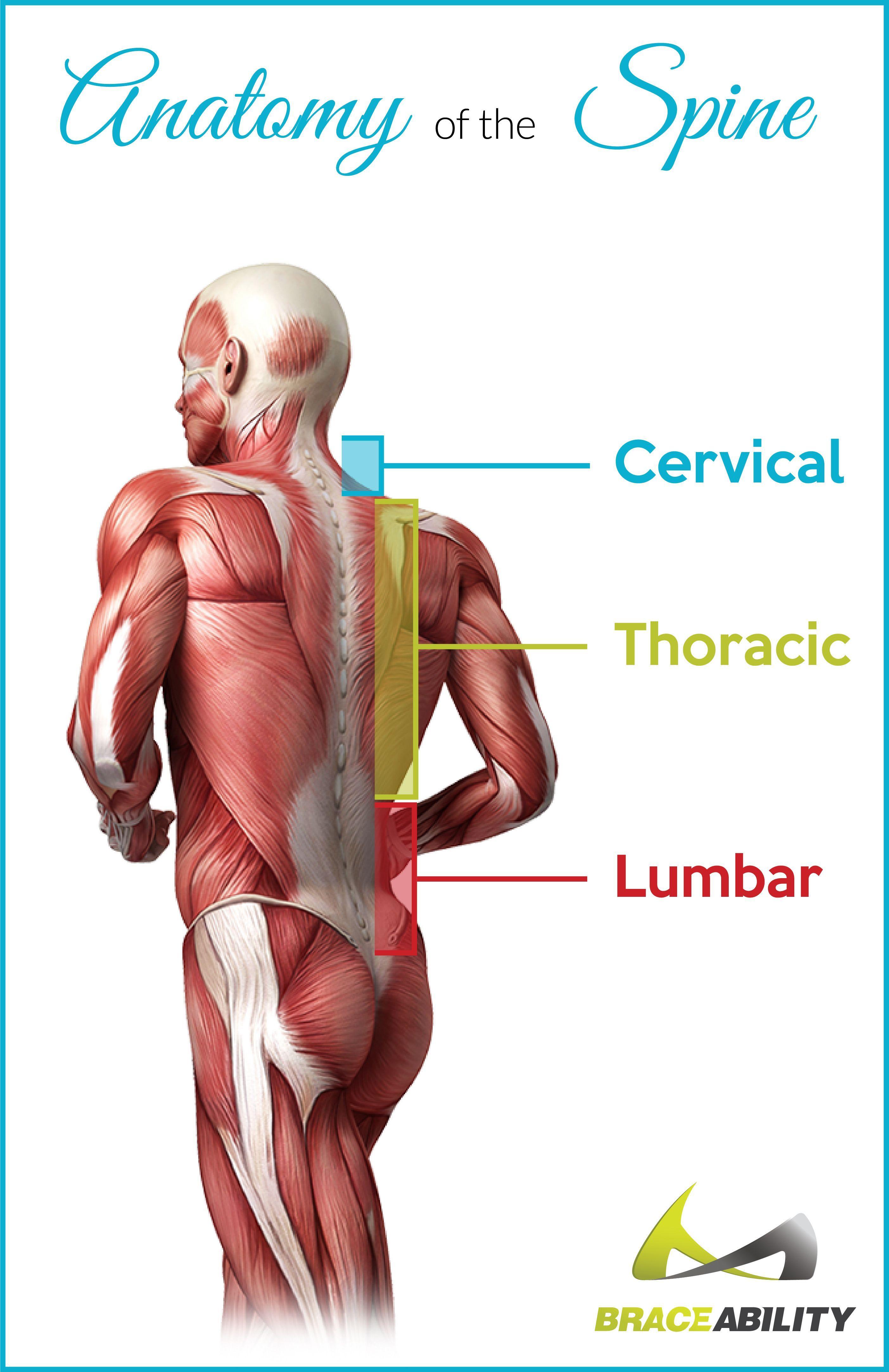 spine-anatomy | Back Discomfort Advice | Pinterest