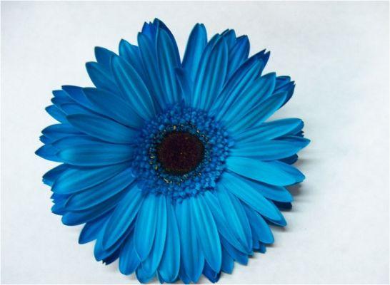 Beautiful Blue Gerbera Daisy Flower Gerber Daisies Blue Roses