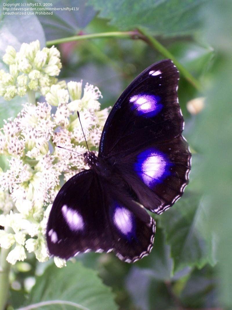 """October 2003 at Texas Discovery Gardens Blue Moon Butterfly (Hypolimnas bolina) Photo © nifty413"" (quote) via davesgarden.com"
