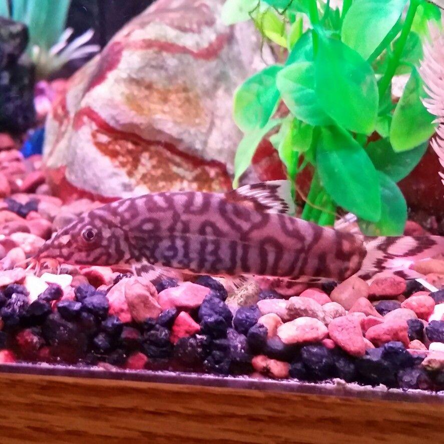 Yo yo loach aquarium stuff pinterest yo yo and aquariums