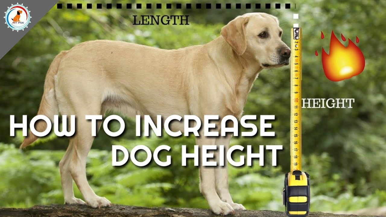 How To Increase Your Dog Height In Hindi Dog Ki Height Kasie