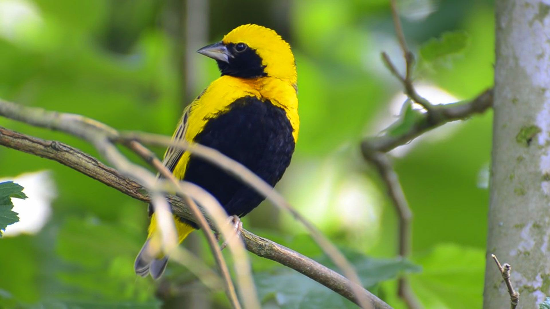 hd pics photos stunning attractive beautiful yellow black bird new