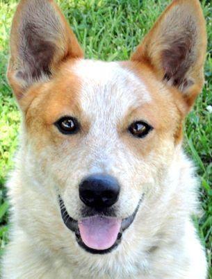 "Meet SANDERS(DROP DEAD GORGEOUS-PUREBRED AUSTRALIAN CATTLE DOG/RED HEELER!!  PRISON DOG TRAINING PROGRAM GRADUATE!!! TRAINED--SOOOO SMART!!!, a Petfinder adoptable Australian Cattle Dog (Blue Heeler) Dog | Winchester, KY | SANDERS***CONTACT   MICHELLE   mmay@kylabrescue.com   SANDERS--""WOW!! ONE BREATHTAKINGLY BEAUTIFUL..."