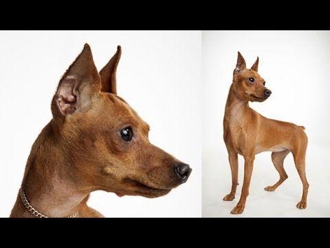 Dogs 101 Miniature Pinscher Youtube Doberman Pinscher