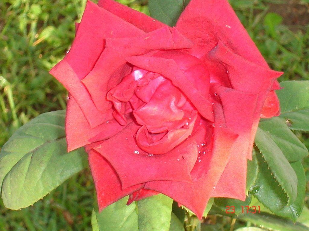 Rosa de jardín.