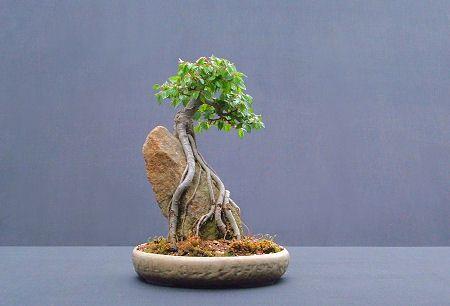 Root Over Rock Bonsai Bonsai Garden Mini Bonsai Bonsai