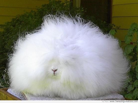 The Angora rabbit is a variety of domestic rabbit bred for