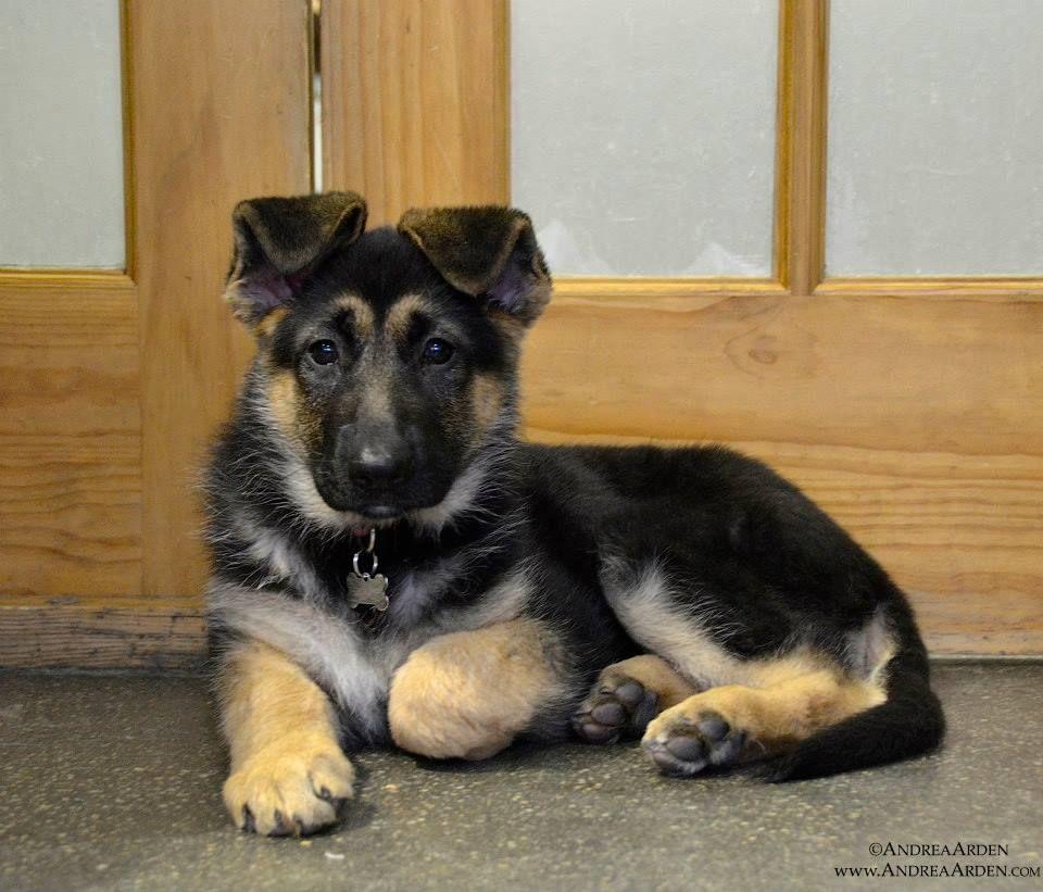Zelda the German Shepherd Dog. Puppy Play Group in New