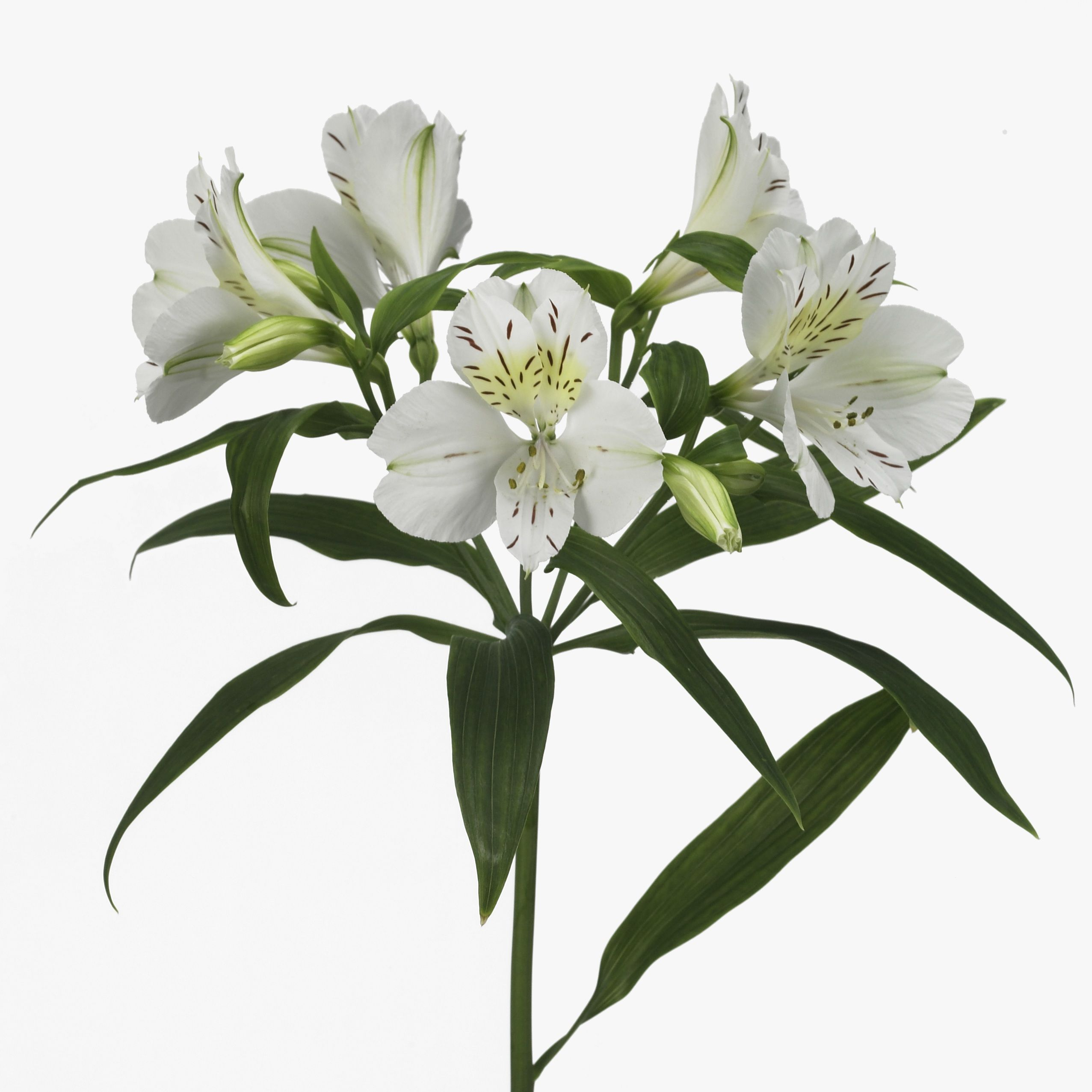 Alstroemeria villa massa photo hilverdakooij bridgette pinterest alstroemeria villa massa is a lovely white variety tall wholesaled in 10 stem wraps please note alstroemeria flowers take a few days to open mightylinksfo Gallery