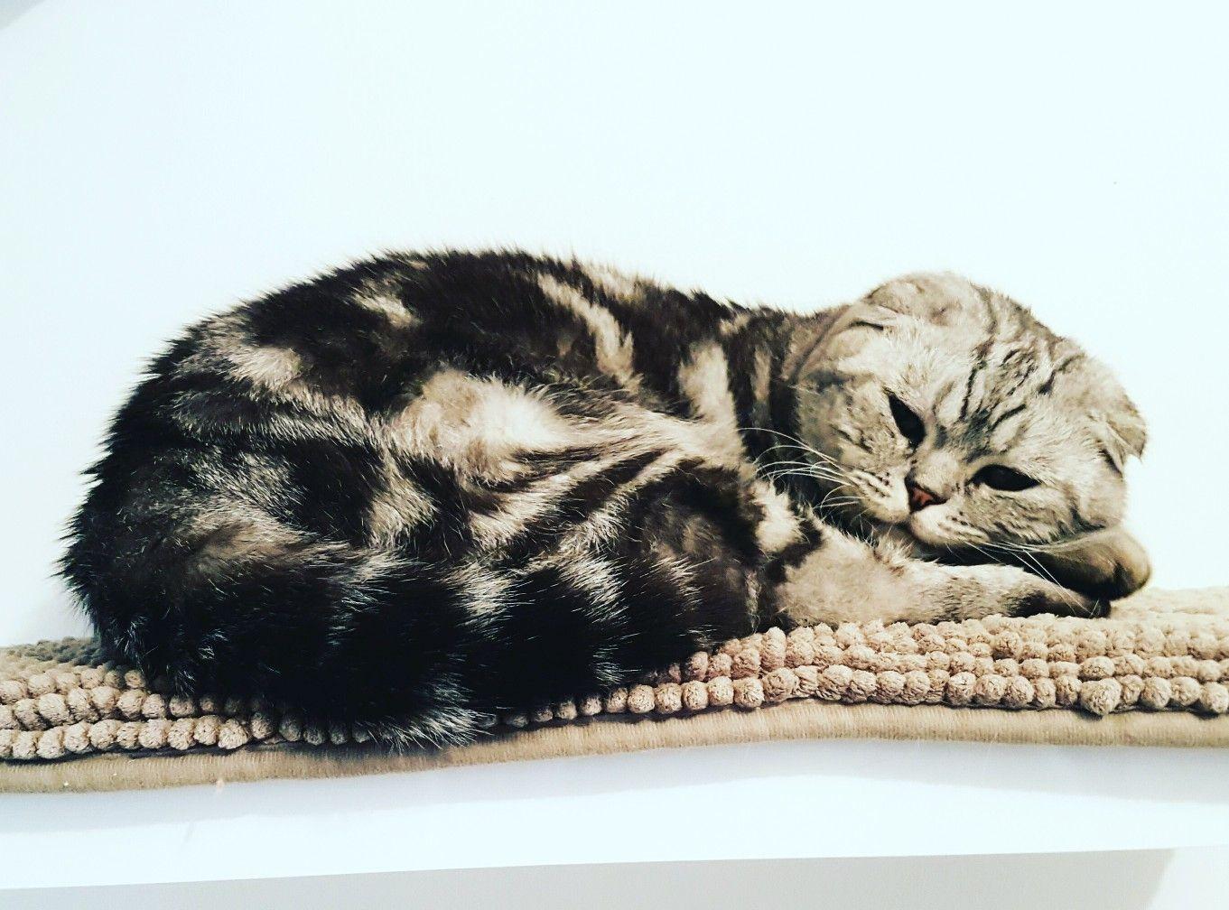 Scottish Fold Classic Silver Tabby Scottish Fold British Shorthair Cats Tabby