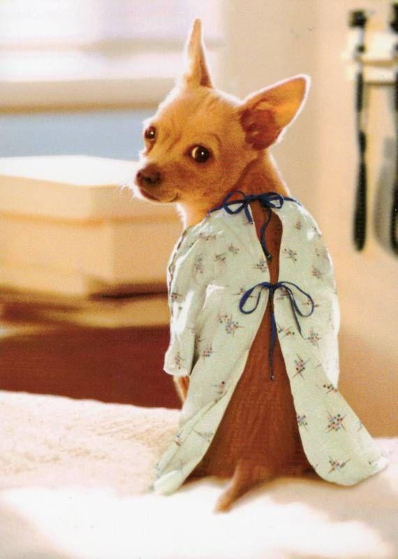 Chihuahua Get Well Soon Cute Chihuahua Cute Animals Pets