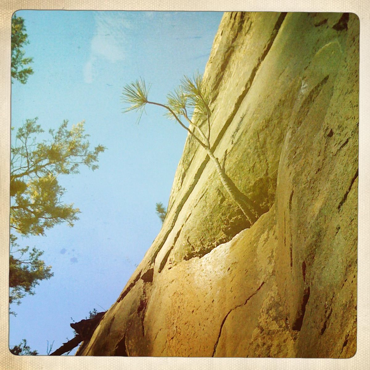 Ponderosa growing out of a rock wall. Taken in Bend, Oregon. Love ...