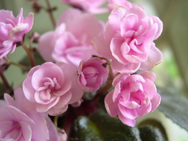 Ness Twinkle Pink closeup