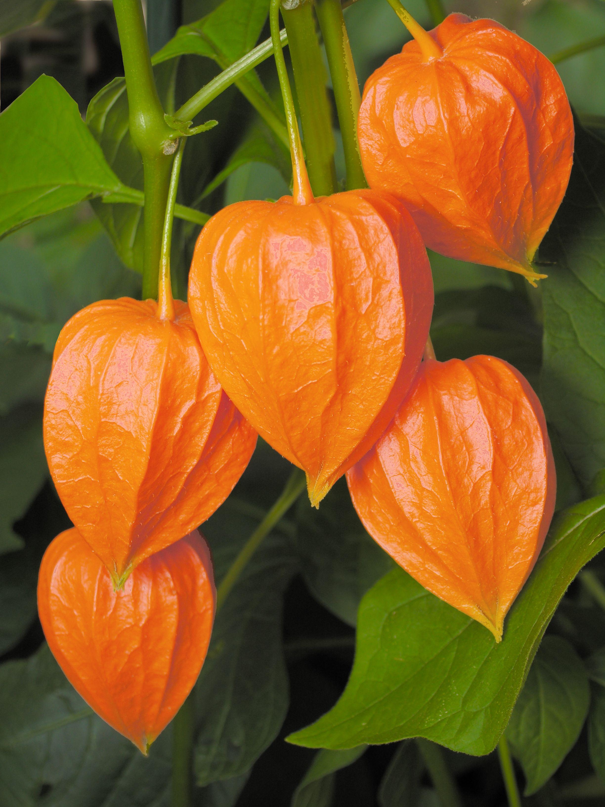 Caring For Chinese Lantern Plants Physalis Alkekengi Chinese