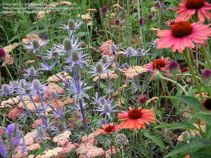 Sea Holly And Echinacea Cone Flower Sea Holly Companion Planting Pretty Plants