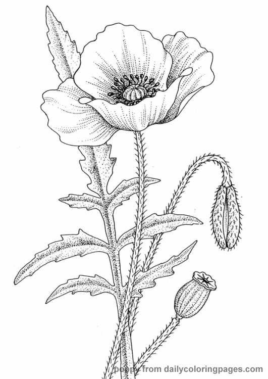 Httpdailycoloringpagescomimagesrealisticflowercoloring - Poppies to remember coloring page