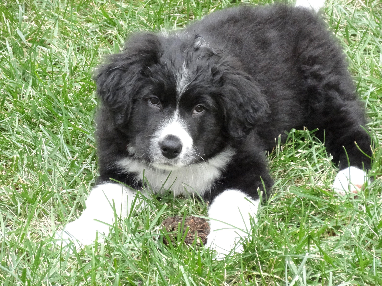 My New Bernefie Puppy Bernese Mountain Dognewfoundland Mix