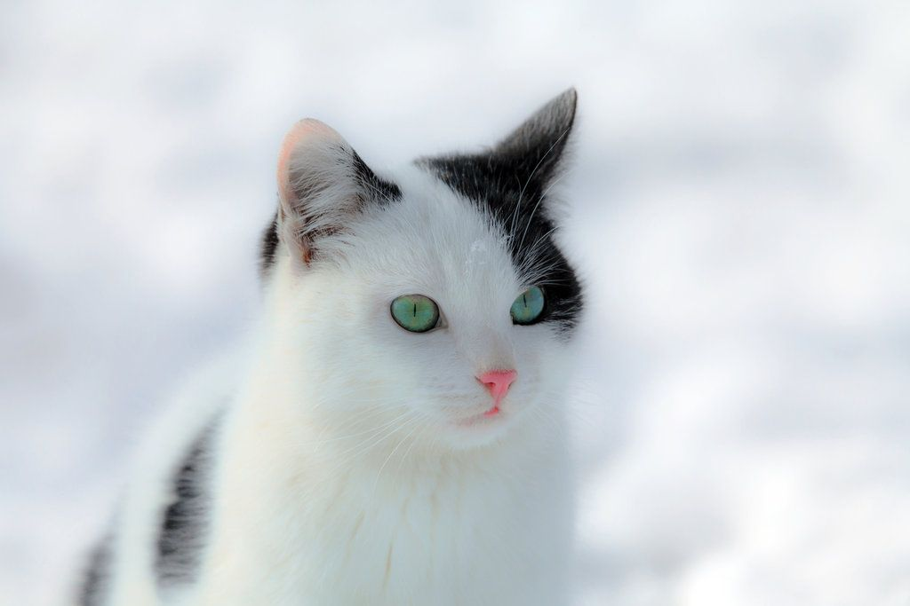 If It Weren T For This Cat S Black Spots And Startling Green Eyes He Let It Snow These Pics Of Animals Playing Will Warm Warrior Cat Warrior Cats Rpg Cats