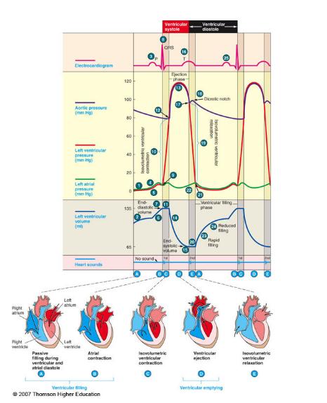 Wiggers Diagram Systems Cardiovascular Pinterest Diagram